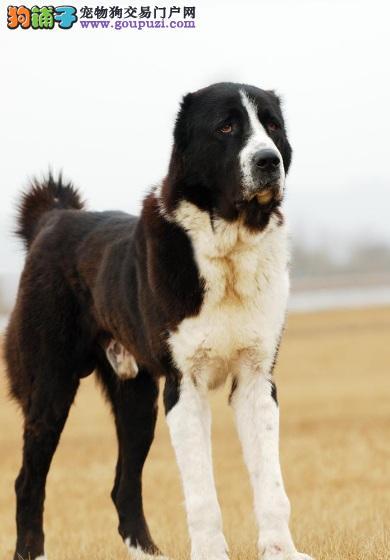 热销多只优秀的纯种中亚牧羊犬质量三包完美售后