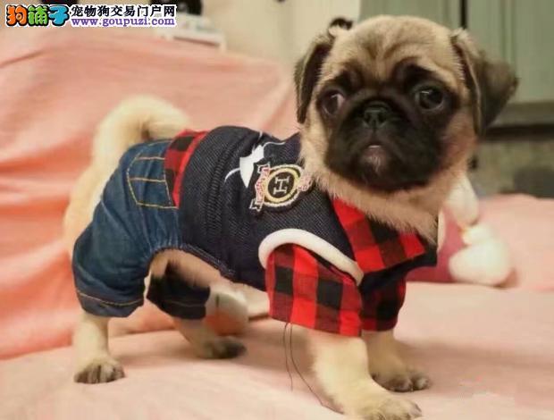 重庆那里有巴哥幼犬卖那里能买到巴哥幼犬巴哥多少钱