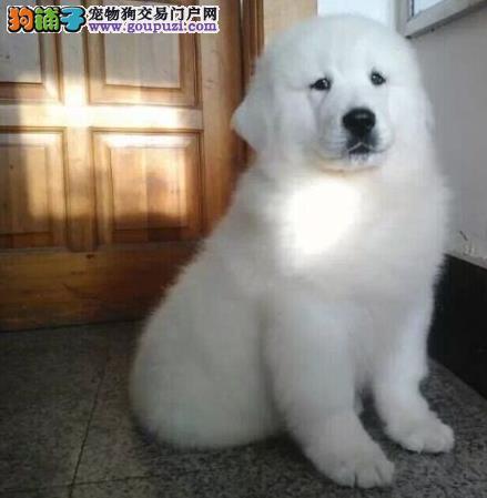 出售纯种犬繁殖基地 出售 大白熊幼犬