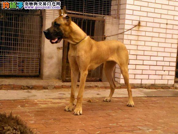 大丹犬青岛CKU认证犬舍自繁自销可刷卡可视频