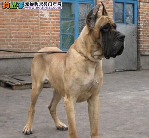 极品大丹犬出售,CKU认证保健康,三年联保协议