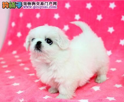 出售纯种京巴、可看狗狗父母照片、提供养护指导
