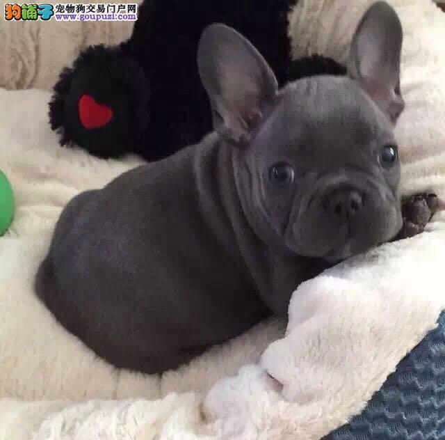 精品纯种石家庄法国斗牛犬出售质量三包微信视频看狗
