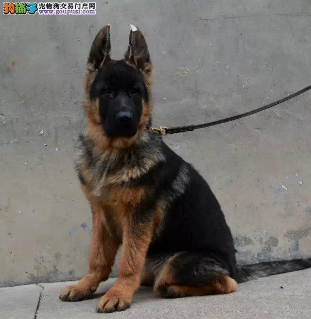 狼狗最大的正规犬舍完美售后期待您的咨询