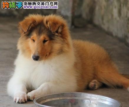 纯种苏牧犬价格中山哪里能卖到苏牧犬宠物狗多少钱