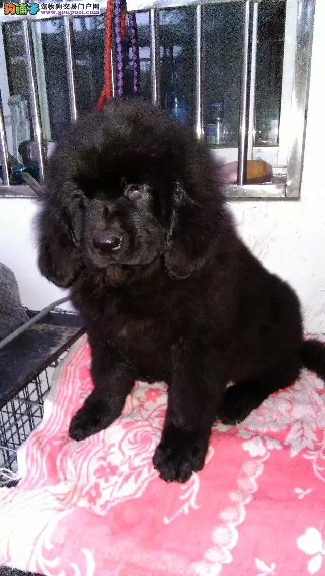 顶级优秀的纯种纽芬兰犬成都热卖中微信看狗可见父母