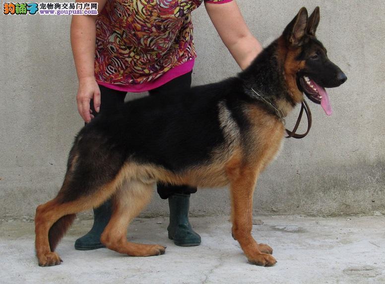 出售纯种昆明犬幼犬 赛级品质 健康质保 免费送货