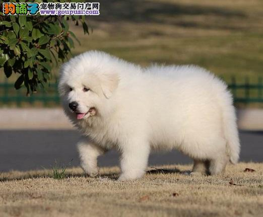 贵阳售大白熊幼犬 活泼 聪明 最好的家庭伴侣