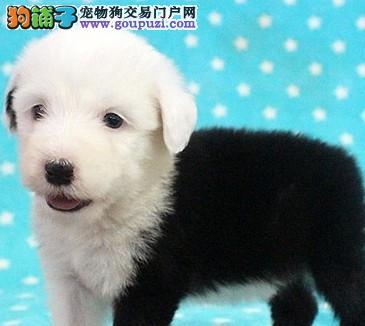 亲。。。英国最古老的古牧幼犬出售 保证健康纯种
