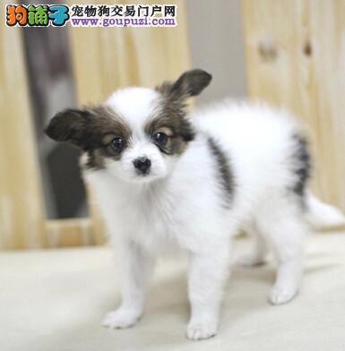海口实体店低价促销赛级蝴蝶犬幼犬签订协议包细小犬瘟热