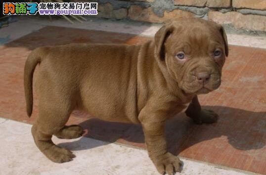 青岛实体店低价促销赛级比特犬幼犬看父母照片喜欢加微信