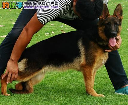 精品昆明犬幼犬一对一视频服务买着放心终身售后协议