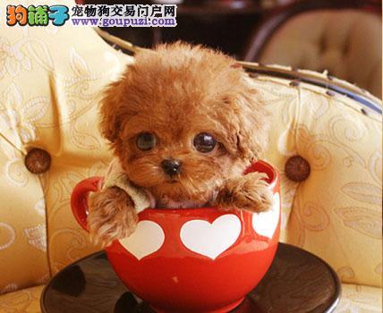 忍痛割爱 低价出售纯种韩系西安泰迪犬颜色多样