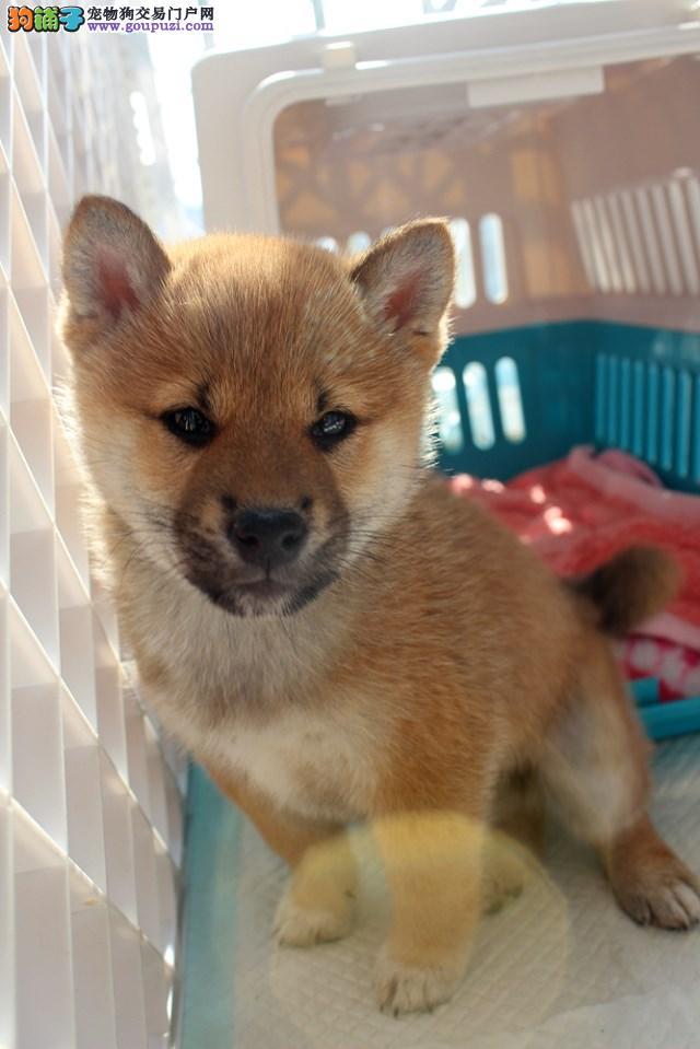 郑州最大犬舍出售多种颜色柴犬签订保障协议