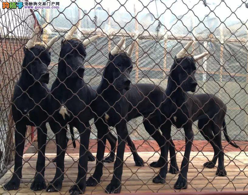 专业正规犬舍热卖优秀的长沙大丹犬我们承诺终身免费售后