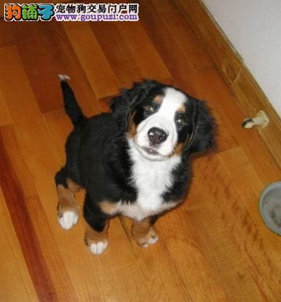 武汉知名犬舍出售多只赛级伯恩山可以送货上门