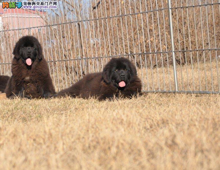 出售济南纽芬兰犬健康养殖疫苗齐全济南当地上门挑选