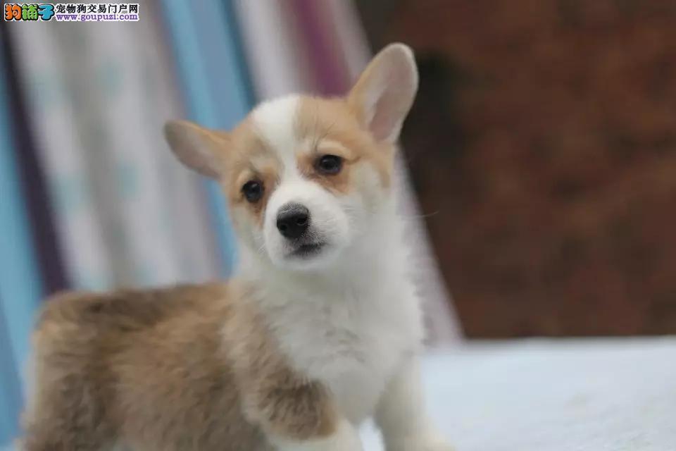 自家繁殖柯基犬幼犬,保纯保健康