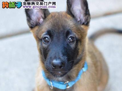 贵阳出售马犬颜色齐全公母都有国际血统认证