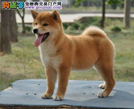 济南大型犬舍低价热卖极品柴犬冠军级血统品质保障
