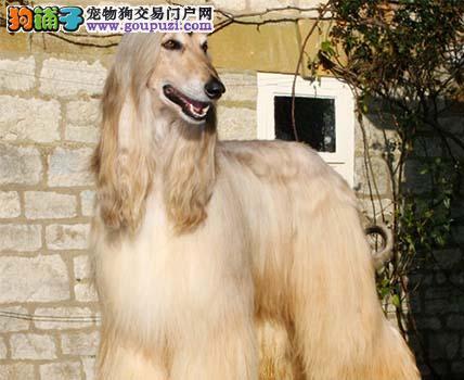 犬舍直销品种纯正健康南宁阿富汗猎犬包售后包退换