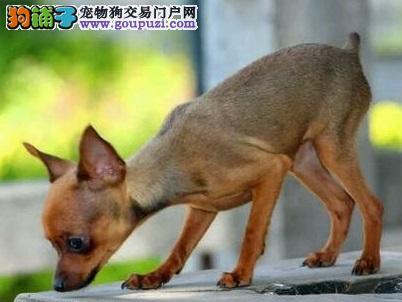 小鹿犬虽然体型小巧却非常的勇敢是很好的家庭犬。