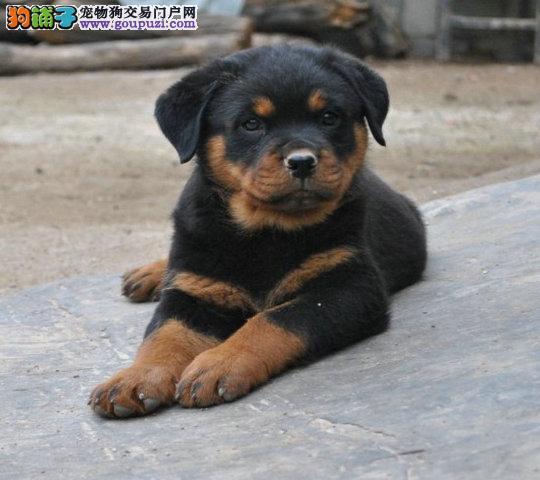 福州CKU认证犬舍出售高品质罗威纳包养活包退换