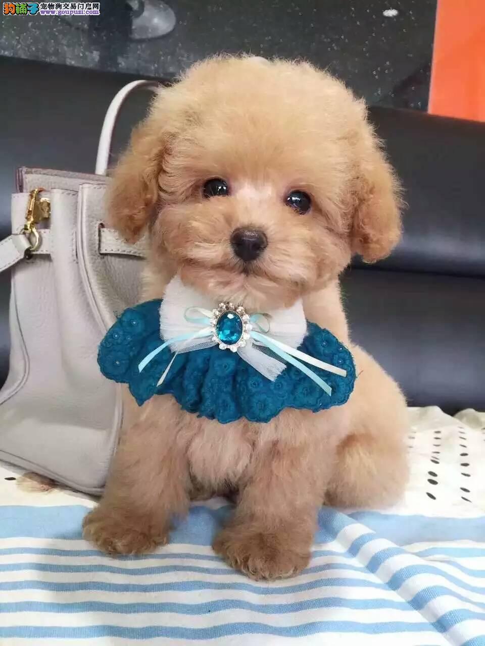 优惠促销精品深圳泰迪犬多种颜色预订有礼品