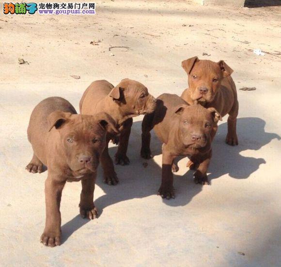 顶级优秀的纯种杭州比特犬热销中国外引进假一赔百