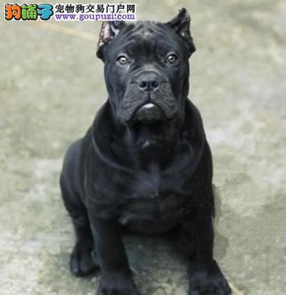 郑州自家繁殖卡斯罗犬出售公母都有可签合同刷卡
