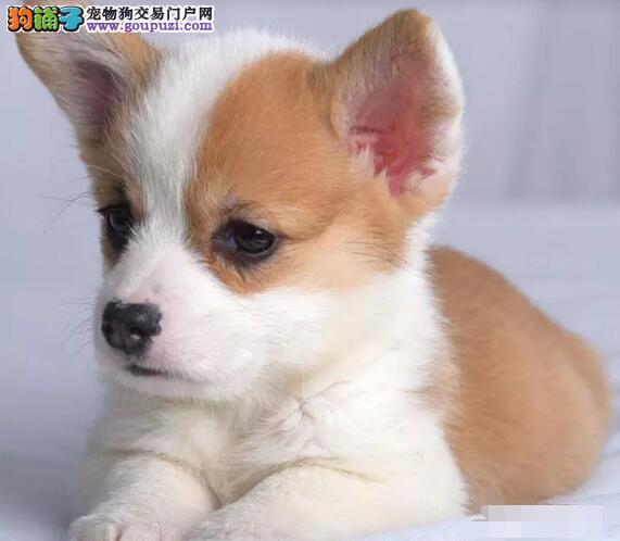 专业繁殖纯种柯基幼犬,健康质保可办理血统证。