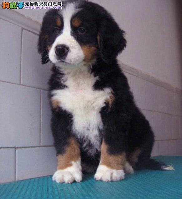 石家庄自家养殖纯种伯恩山低价出售微信看狗真实照片包纯