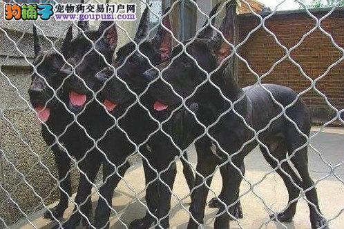 西双版纳自家繁殖大丹犬出售公母都有假一赔万签活体协议