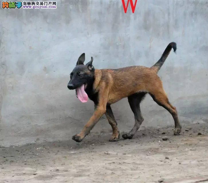 正规犬舍高品质马犬带证书微信咨询看狗狗视频