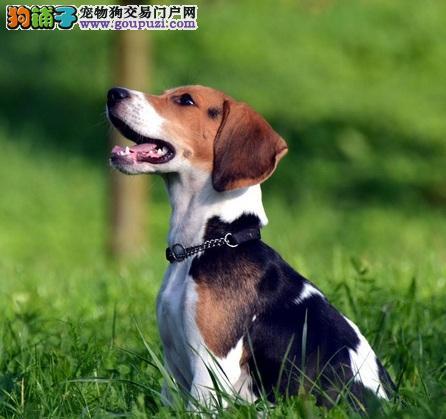 赛级比格犬纯种健康保证品质CKU认证