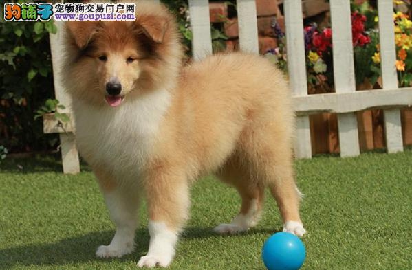 出售多种颜色上饶纯种苏牧幼犬签署各项质保合同