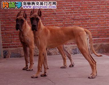 大型犬舍低价热卖极品大丹犬价格低廉品质高