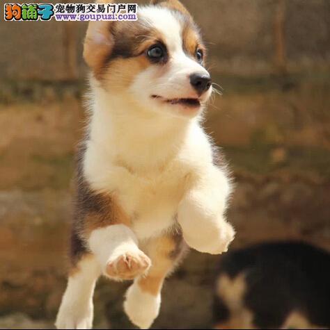 短腿双色三色纯种威尔士柯基幼犬宝宝 多只挑选哟
