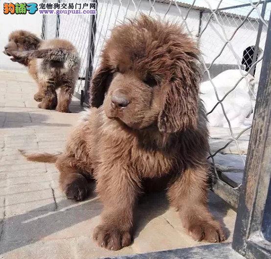 出售极品纽芬兰犬幼犬完美品相专业品质一流