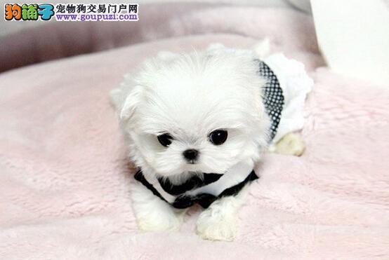 杭州哪里有卖马尔济斯犬,杭州马尔济斯犬多少钱价位