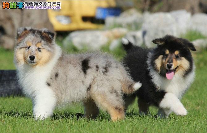 广州哪里有卖苏牧犬出售雕色黑白色黄白色苏格兰牧羊犬