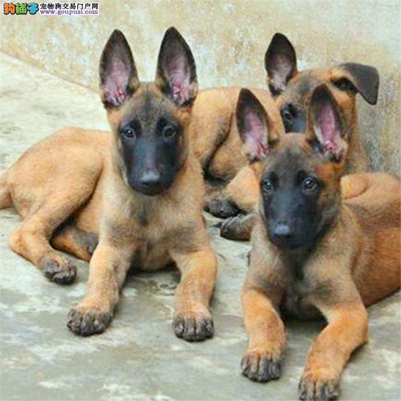 100%纯种健康的武汉马犬出售可直接微信视频挑选