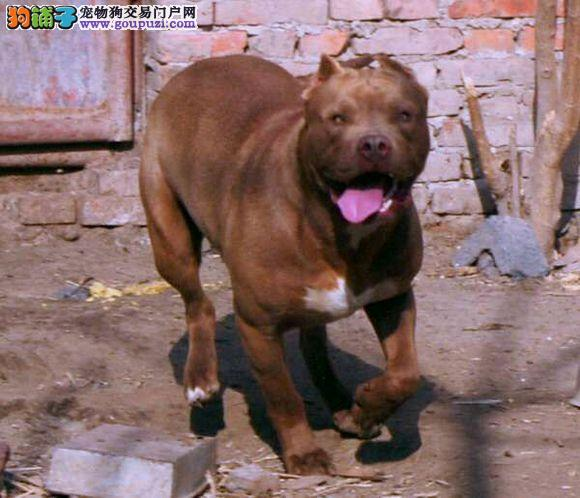 出售纯种健康的武汉比特犬幼犬赛级品质血统保障