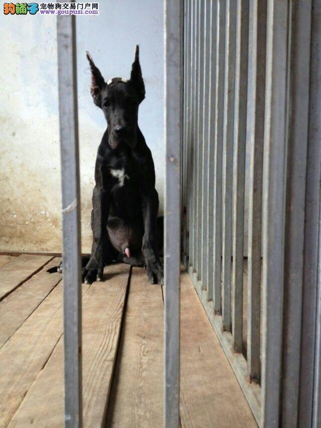 犬舍直销品种纯正健康大丹犬质保三年支持送货上门
