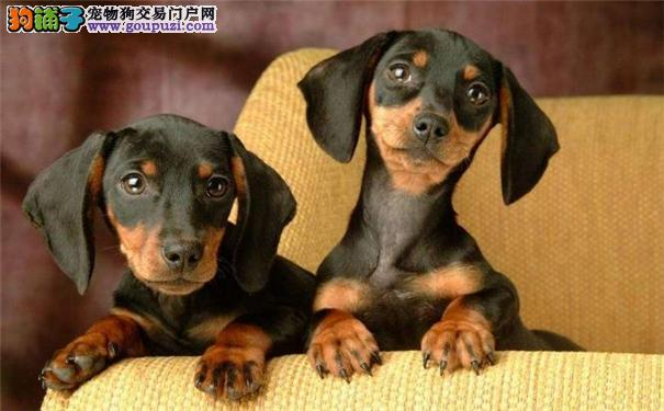 狗场低价直销 纯种腊肠幼犬宝宝 保健康 保纯种 包品质