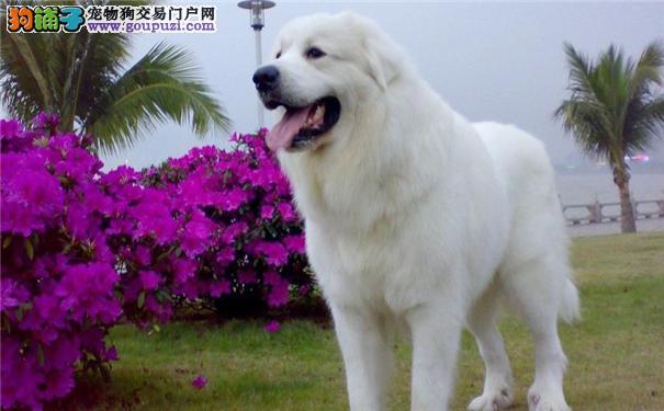 广州市售大白熊犬幼犬 比利牛斯山地犬多窝待选防疫全