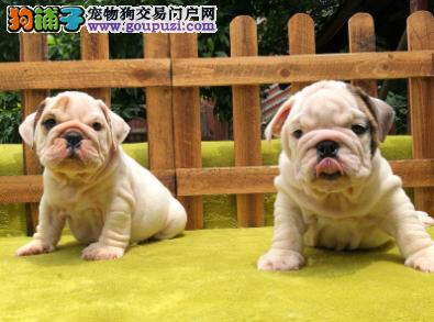 专业犬舍繁殖精品英国斗牛犬幼犬CKU认证绝对信誉