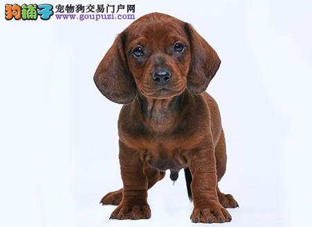 专业犬舍繁殖精品腊肠幼犬CKU认证绝对信誉