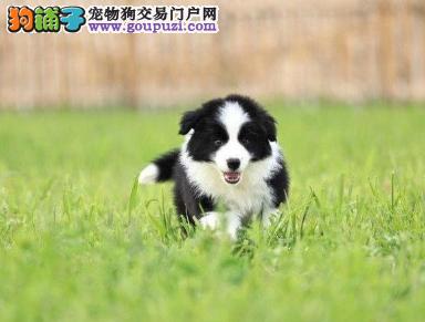 专业犬舍繁殖精品边境牧羊犬幼犬CKU认证绝对信誉
