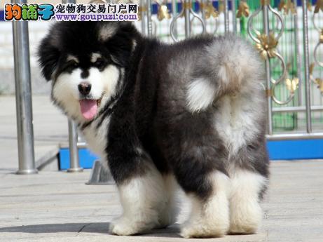 专业犬舍繁殖精品阿拉斯加幼犬CKU认证绝对信誉